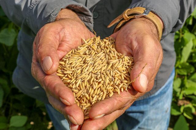 Produção de arroz no Tocantins