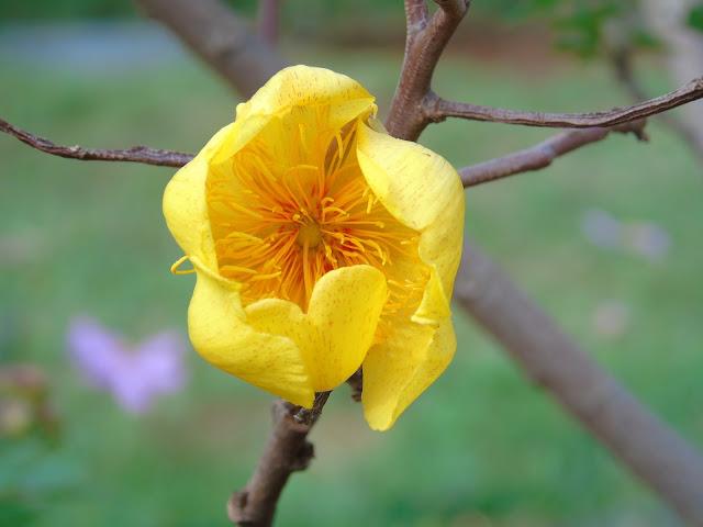 Planta Algodãozinho do Cerrado